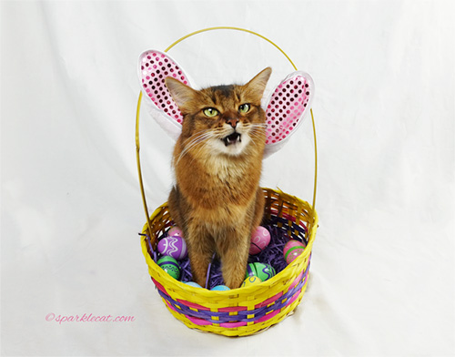 somali cat outtake photo for April