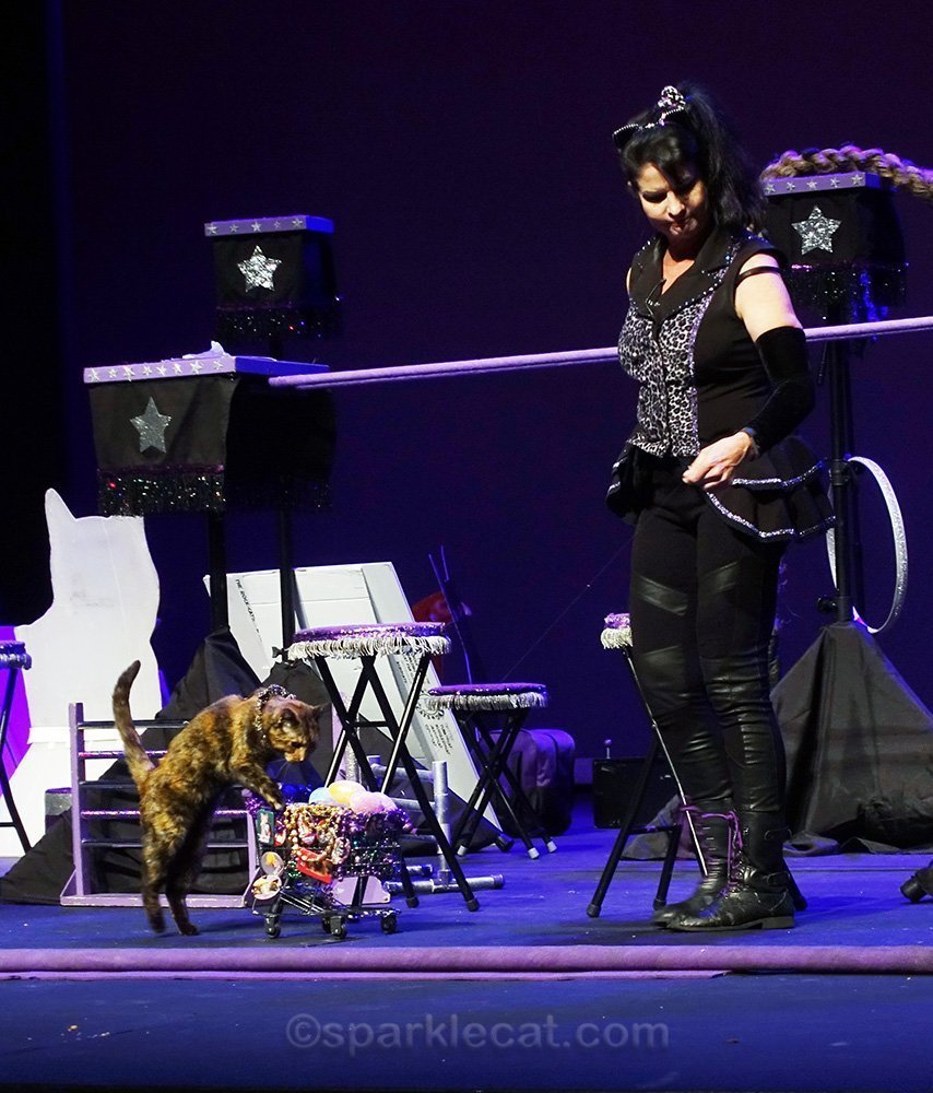 Sookie, the Acro-Cat, pushing a shopping cart