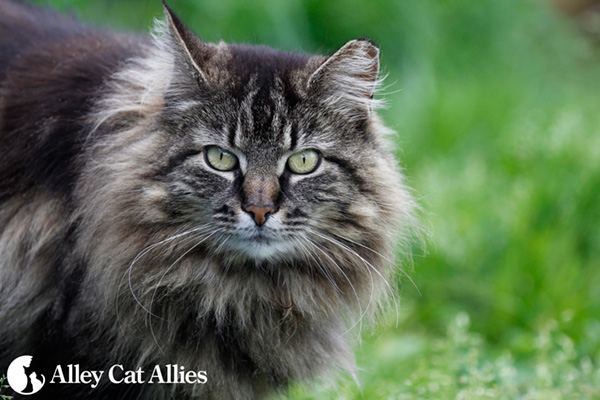 feral cat from Alley Cat Allies