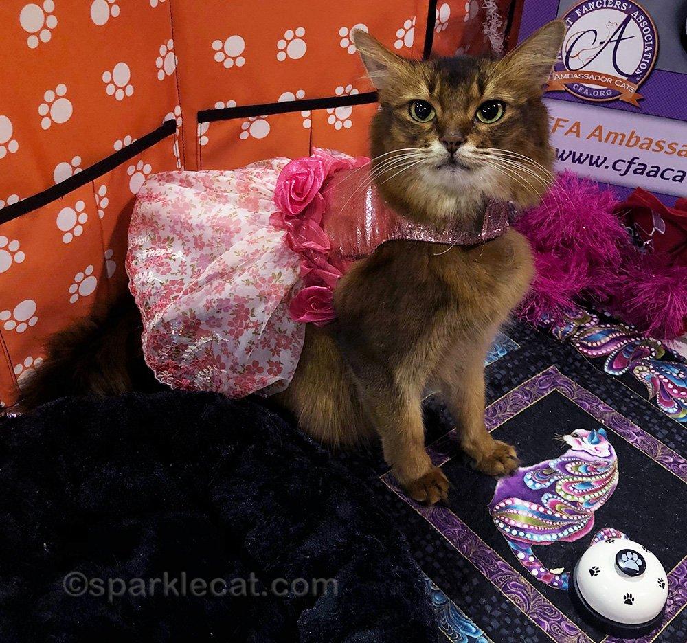 somali cat wearing fancy party dress
