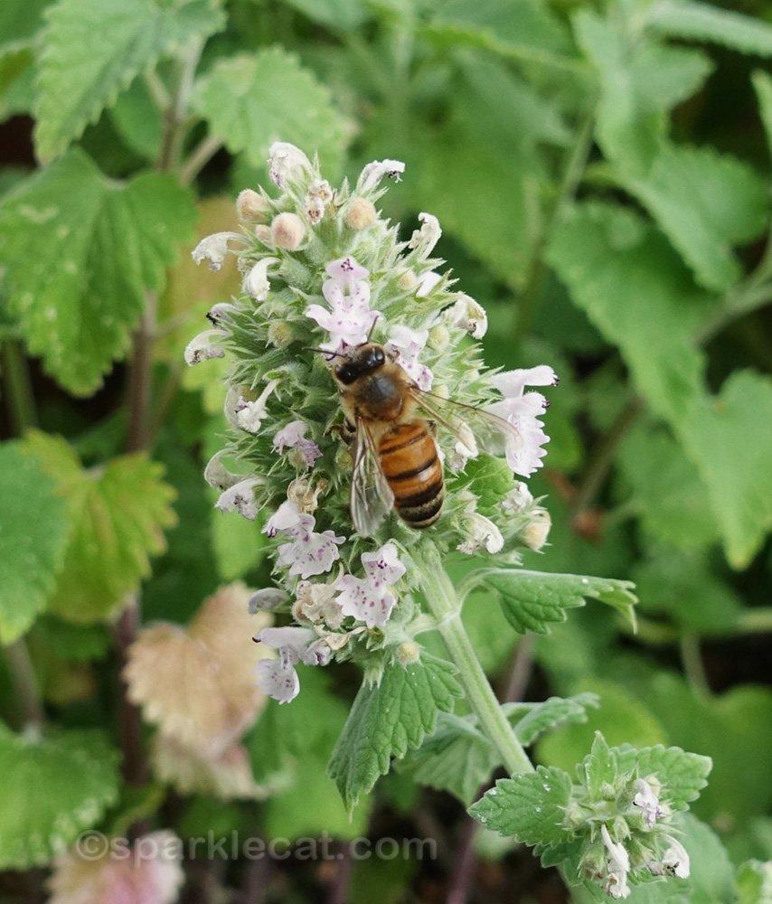bee on catnip flowers