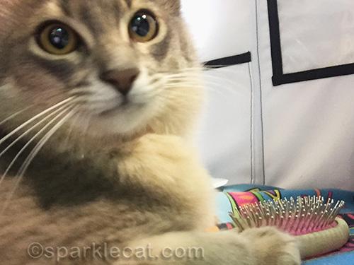 somali kitten gets too close when taking selfie