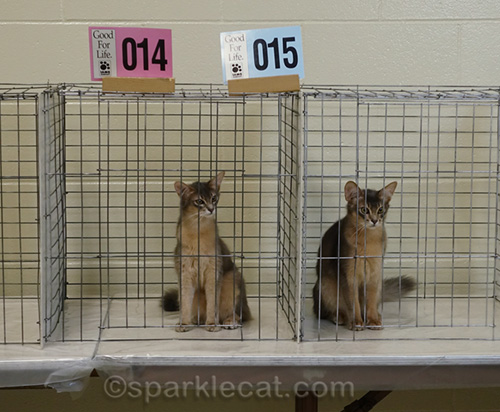 two somali kittens in adjoining judging cages