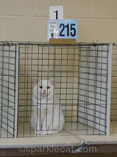 Manx cat in final ring