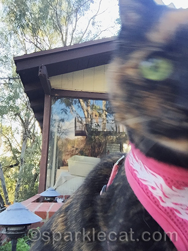 tortoiseshell cat, cat selfie, outdoors cat