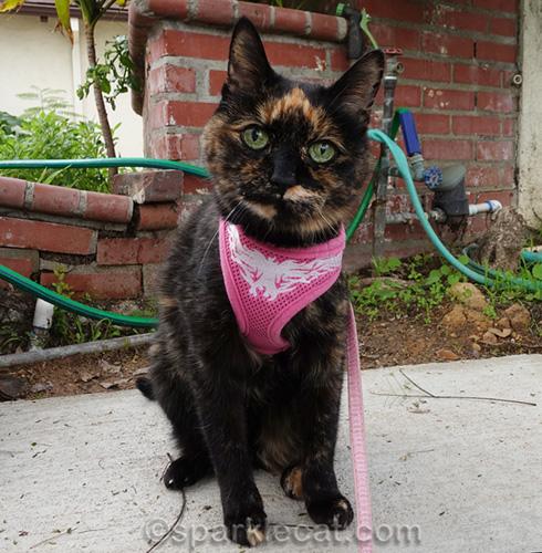 tortoiseshell cat on harness and leash