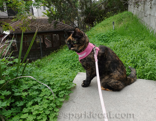tortoiseshell cat at the end of a path
