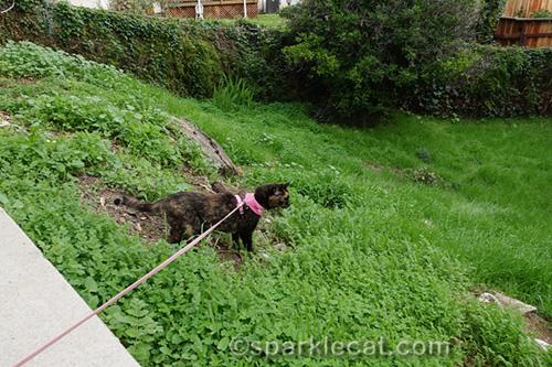 tortoiseshell cat explores the backyard