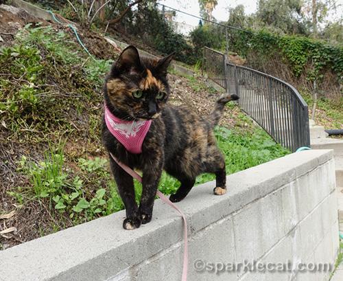 tortoiseshell cat standing on wall