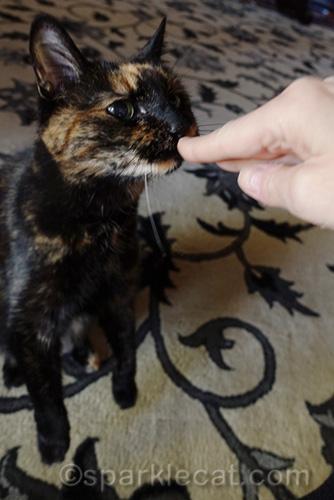 tortoiseshell cat sniffing human fingers