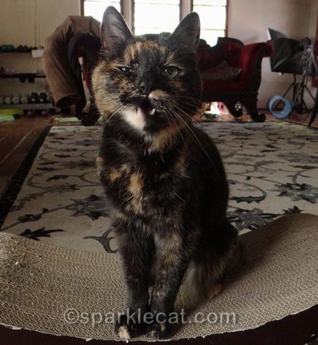 tortoiseshell cat making hideous face