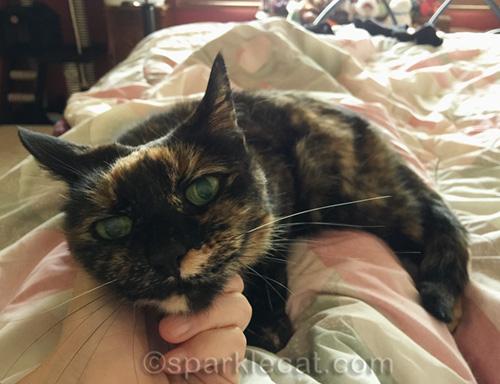 tortoiseshell cat doing nurse duties