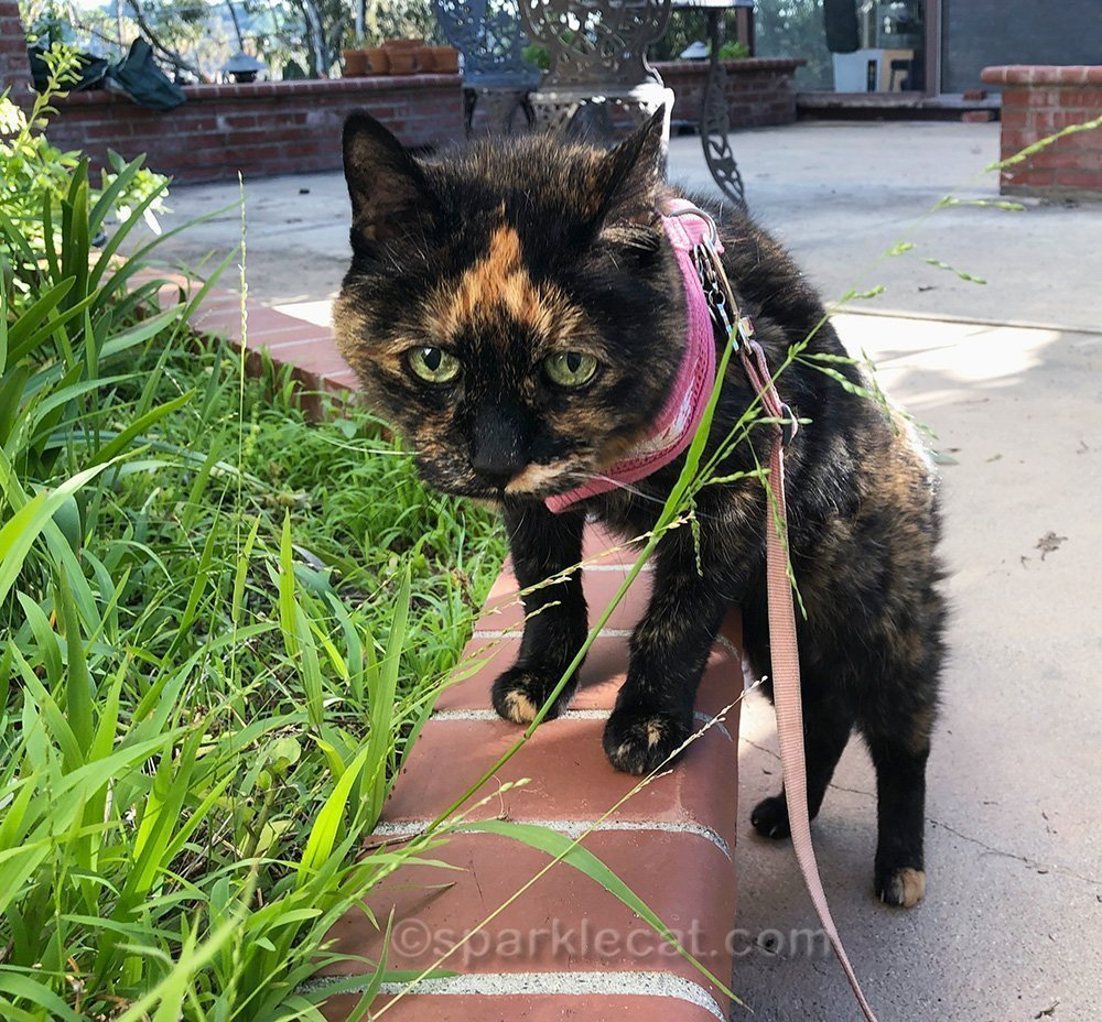 tortoiseshell cat not loving the cold.