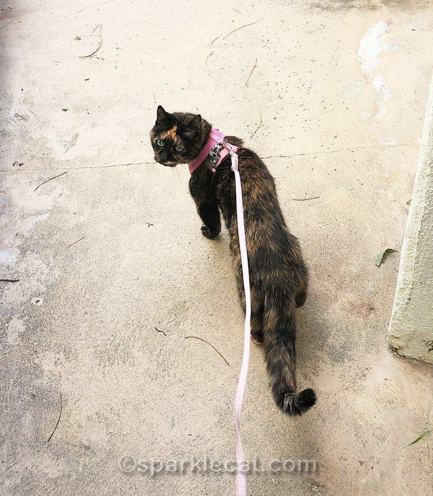 tortoiseshell cat on her way somewhere