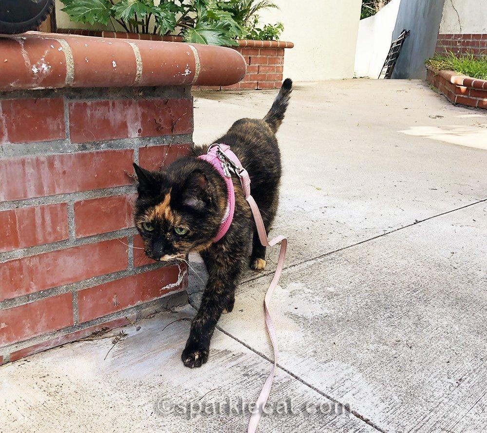 tortoiseshell cat on leash walking