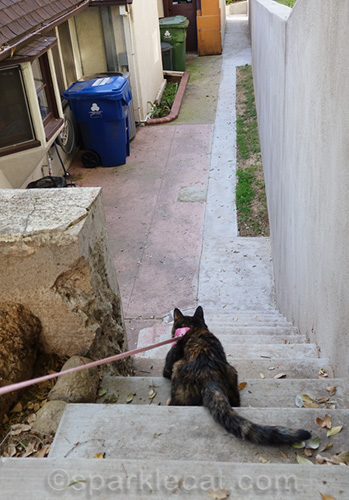 tortoiseshell cat tries to go down stairs on leash