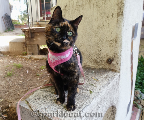 Tortoiseshell cat in harness on outdoor fireplace