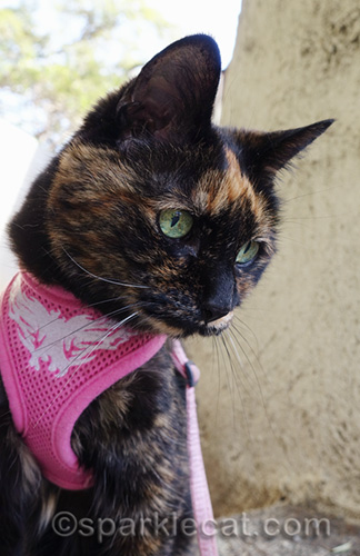 close up of tortoiseshell cat in harness