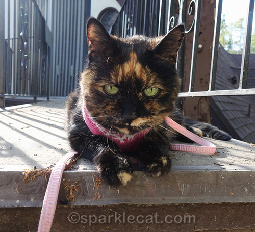 tortoiseshell cat in the afternoon sun