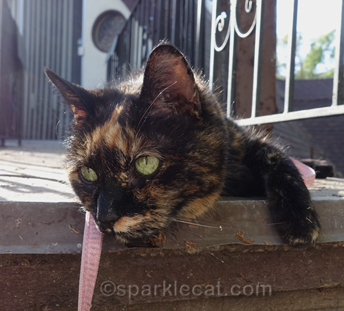 tortoiseshell cat basking in the sun