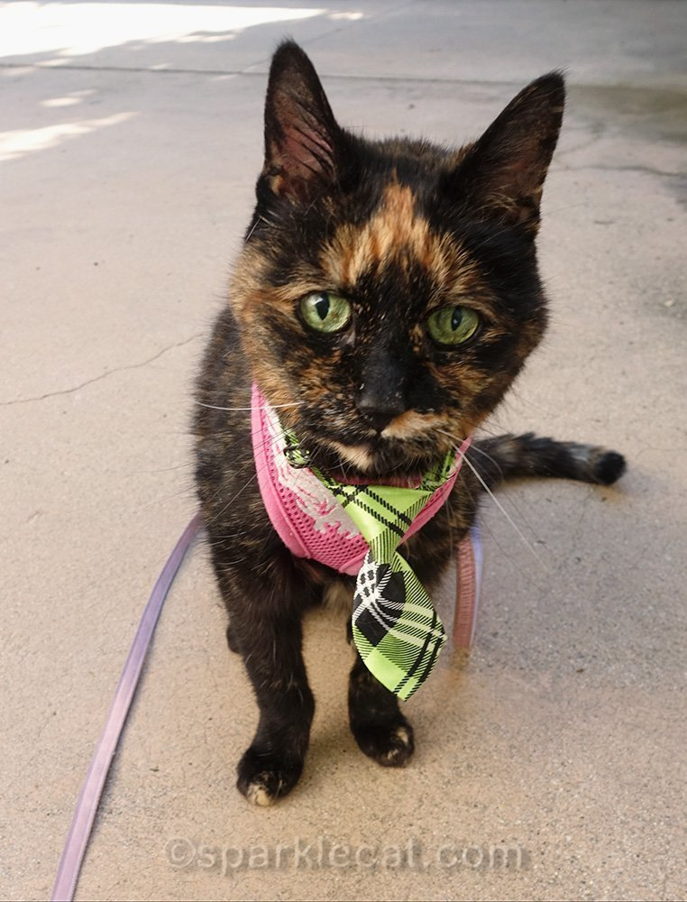 tortoiseshell cat in necktie and harness