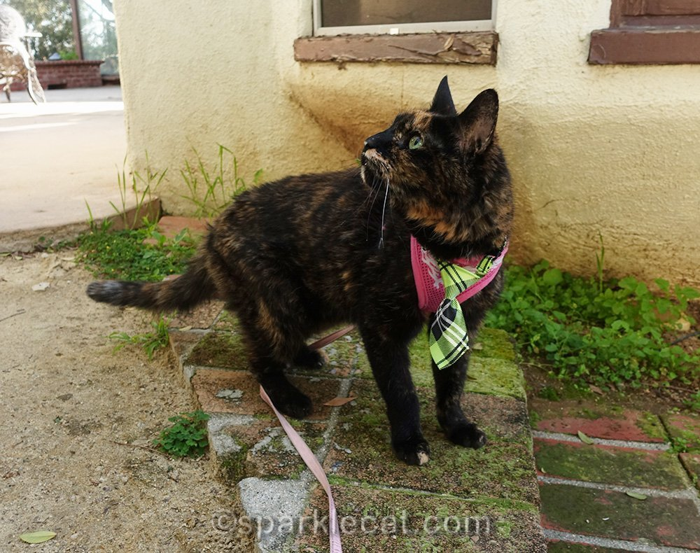 tortoiseshell cat watching birds