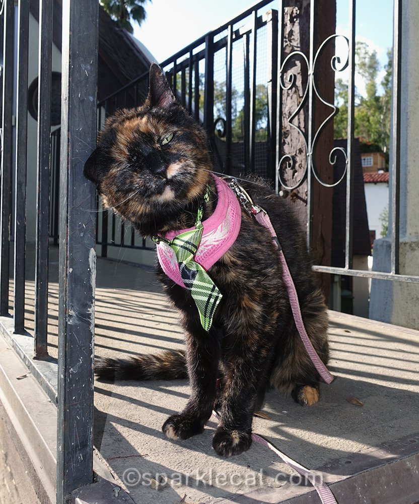 tortoiseshell cat enjoying springtime and marking metal railing