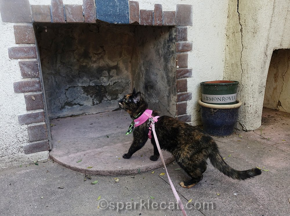 tortoiseshell cat wants to go in outdoor fireplace