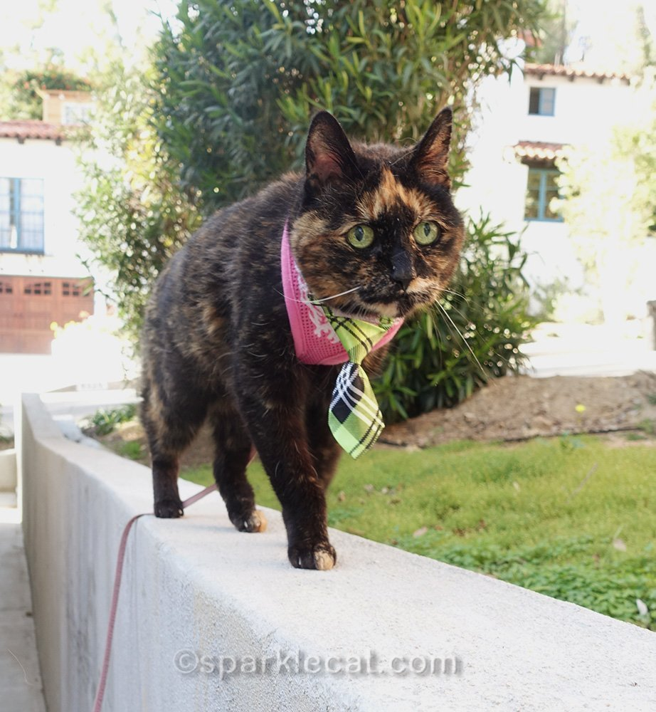 tortoiseshell cat walking on retaining wall