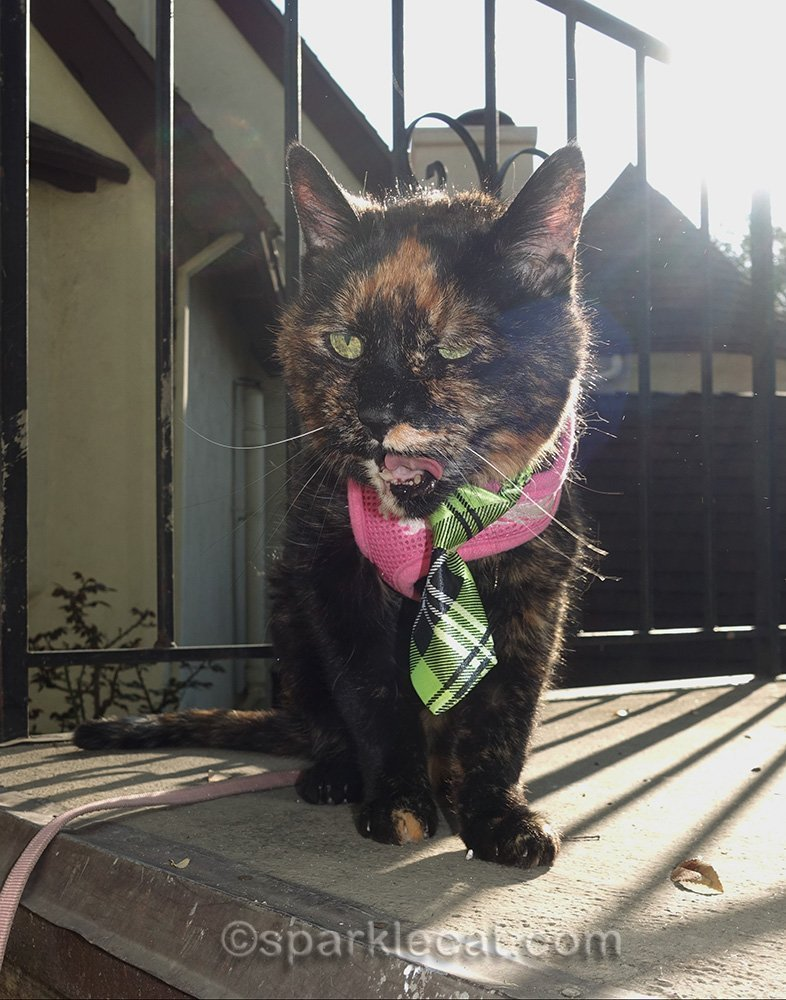 outtake of tortoiseshell cat outside
