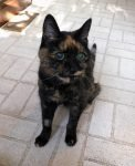 tortoiseshell cat waiting for breakfast