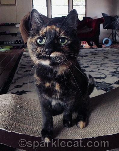 tortoiseshell cat planning