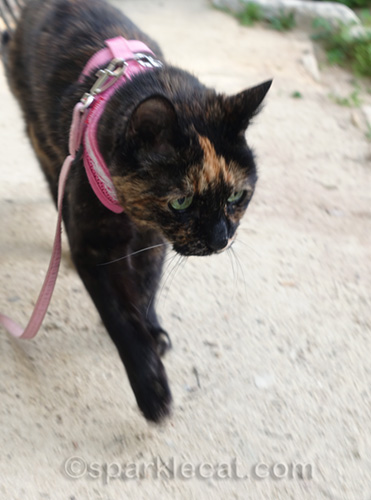 tortoiseshell cat walking