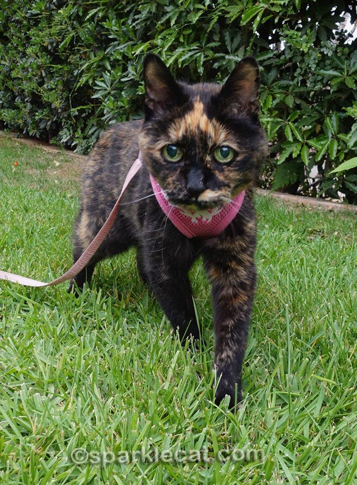 tortoiseshell cat going outside on a leash