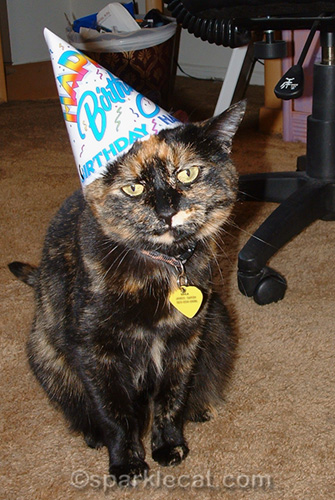 Unhappy tortoiseshell cat wearing birthday hat