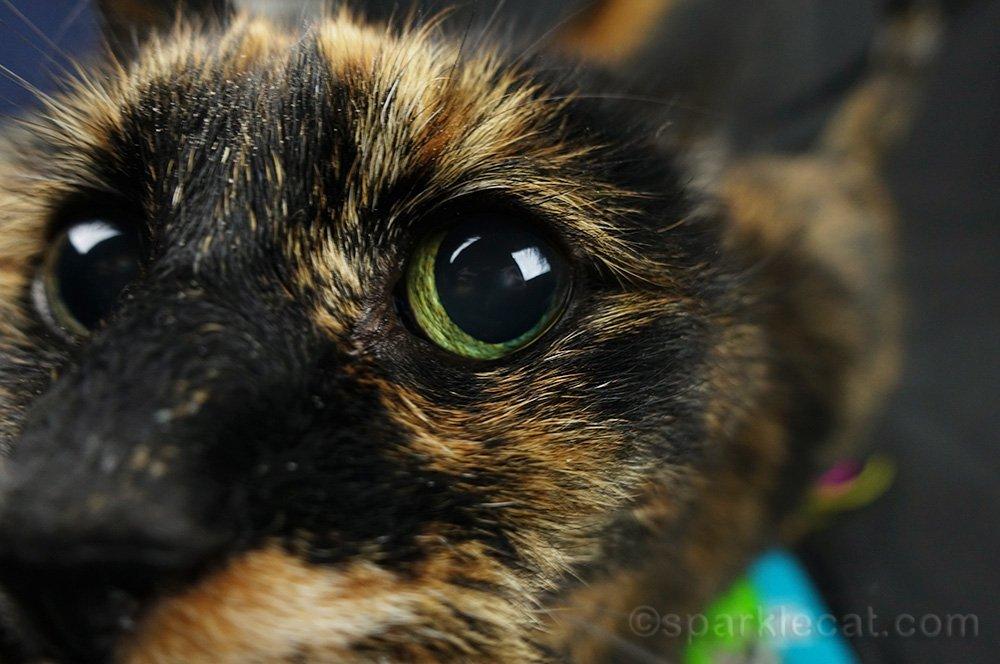 tortoiseshell cat face in camera
