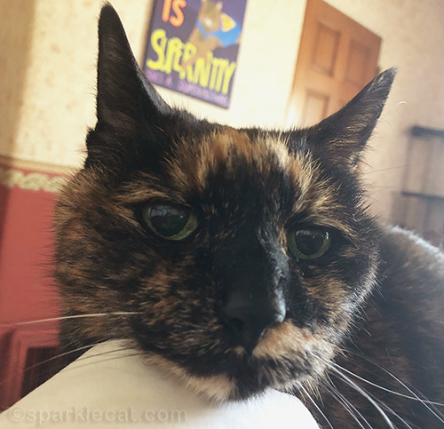 closeup tortoiseshell cat in bed, with morning purrs