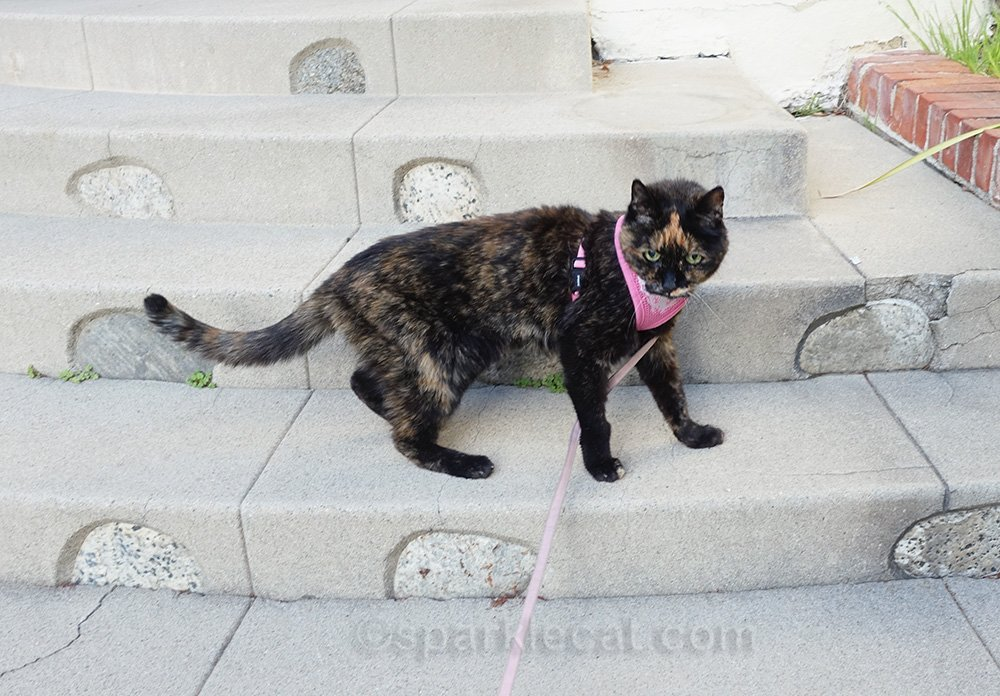 tortoiseshell cat on an after dinner walk