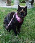 tortoiseshell cat on a leash sitting in the grass