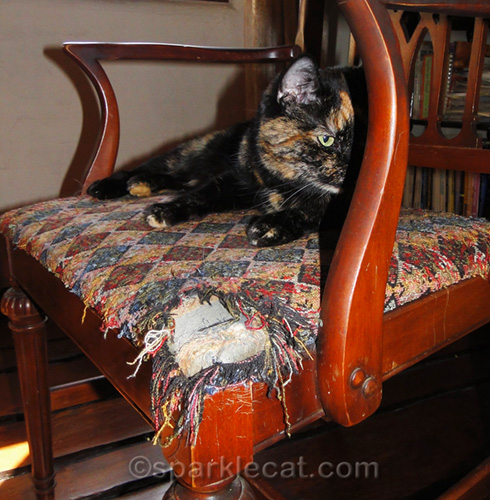 tortoiseshell cat with chair seat she has ruined