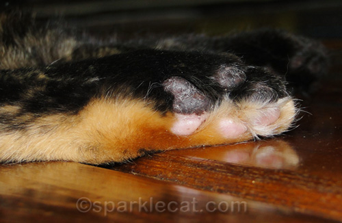 tortoiseshell cat foot