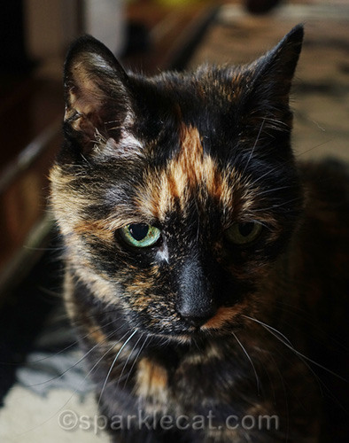 tortoiseshell cat with orange chevron patch on her head