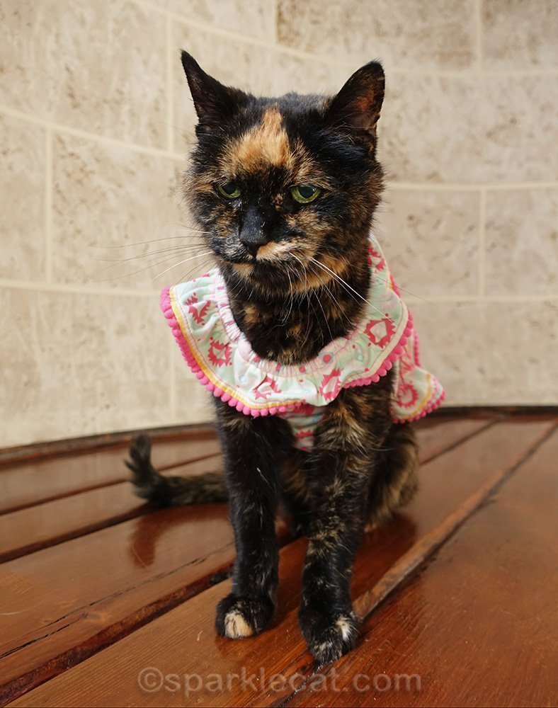 tortoiseshell cat unhappy with dress