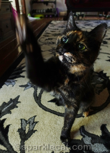 tricky tortie cat trying to do high five for treat