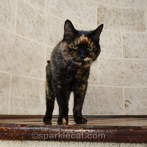 tortoiseshell cat is satisfied that no one is having too much fun