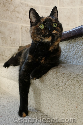 tortoiseshell cat looking way more innocent than she actually is