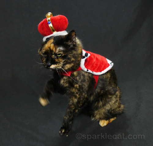 annoyed tortoiseshell cat in queen outfit