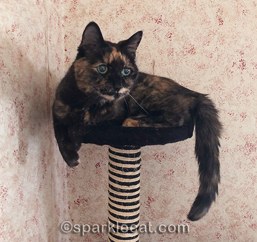 photo of tortoiseshell cat on cat tree