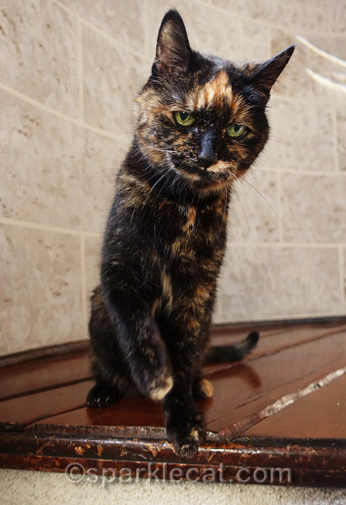 tortoiseshell cat upset that there is no tortie appreciation day
