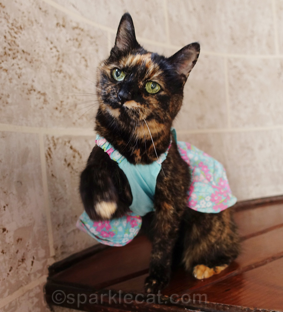 tortoiseshell cat in dress, begging for treat
